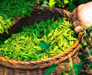 Les principaux bienfaits du thé vert