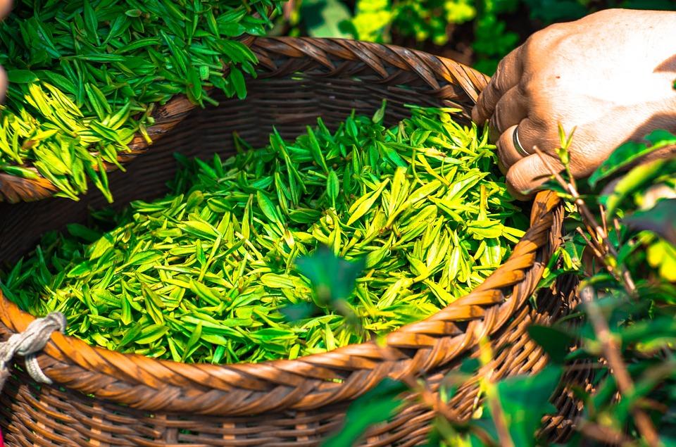 benefice sante the vert
