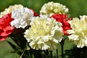 bouquet oeillet