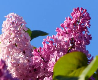 Comment conserver un bouquet de lilas ?